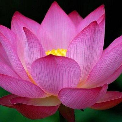 lotus blossom passionatelotus twitter