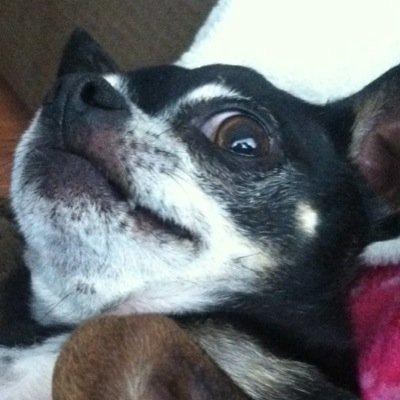 Papi The Dog Papiannlucas Twitter