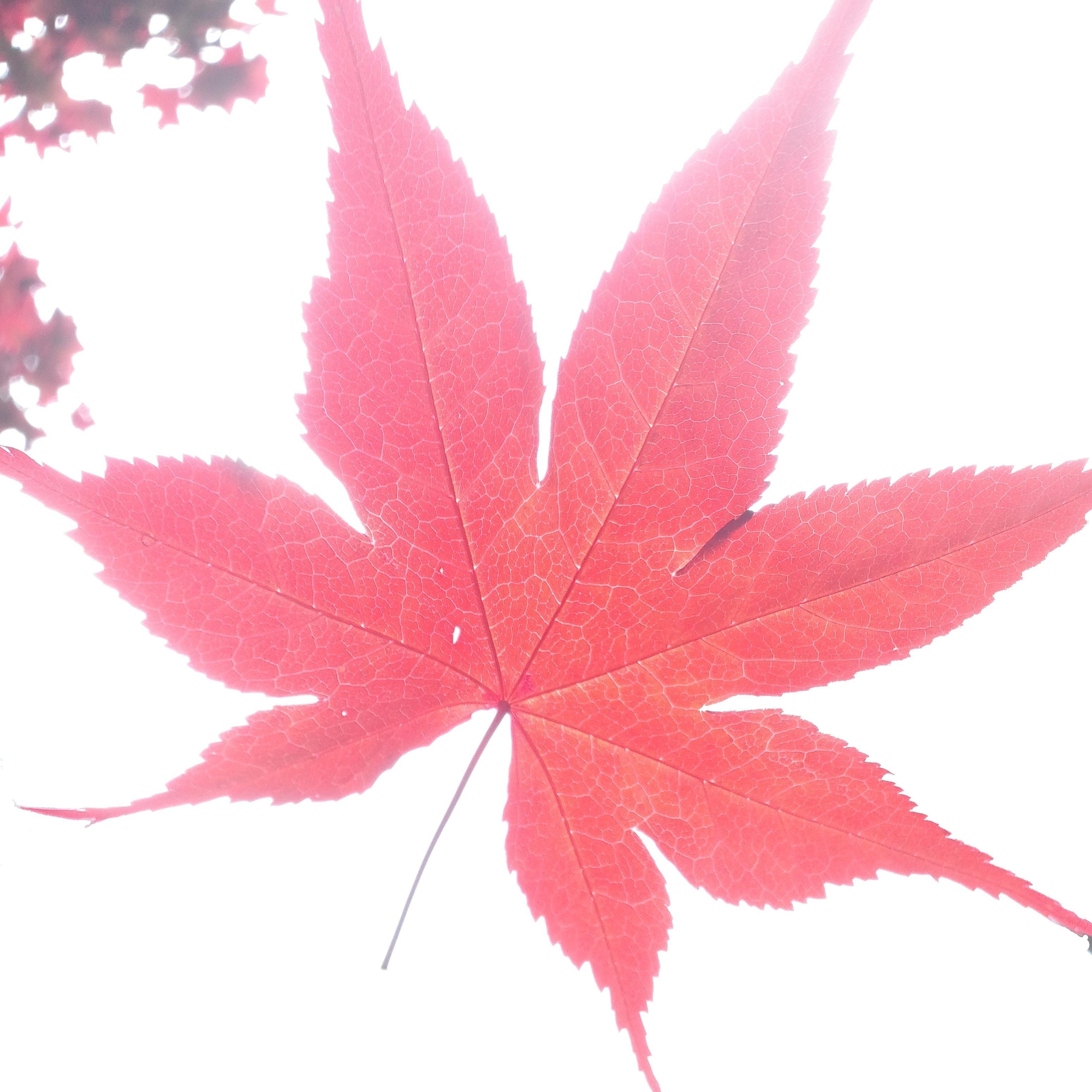 Maple_Landscape