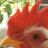 poultryriot