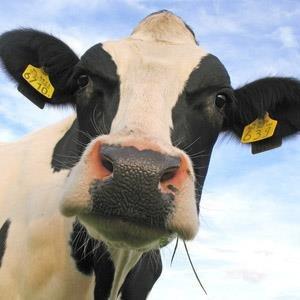Cow Quotes | Blimey Cow Quotes Blimeycowquotes Twitter