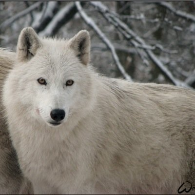 Kara On Twitter The Pregnant Wolf Wonders About Looking For