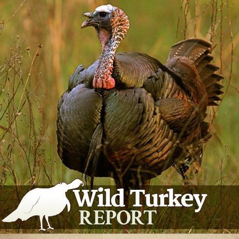 Wild turkey report wildturkeyreprt twitter