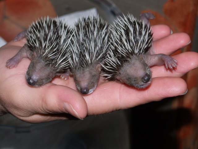 How To Have A Hedgehog As A Pet