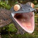 Gecko reasonably small