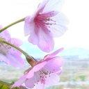電子書籍&映画『あの街に桜が咲けば』 (@anosaku) Twitter