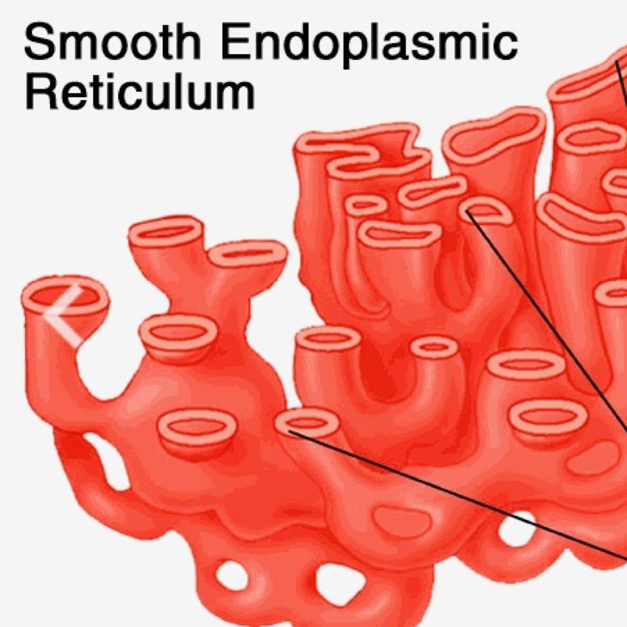 Animal Cell Endoplasmic Reticulum | Hot Girl HD Wallpaper