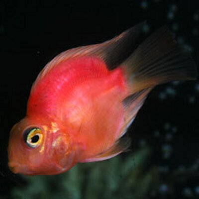 Hoffer pictures news information from the web for Parrot fish facts