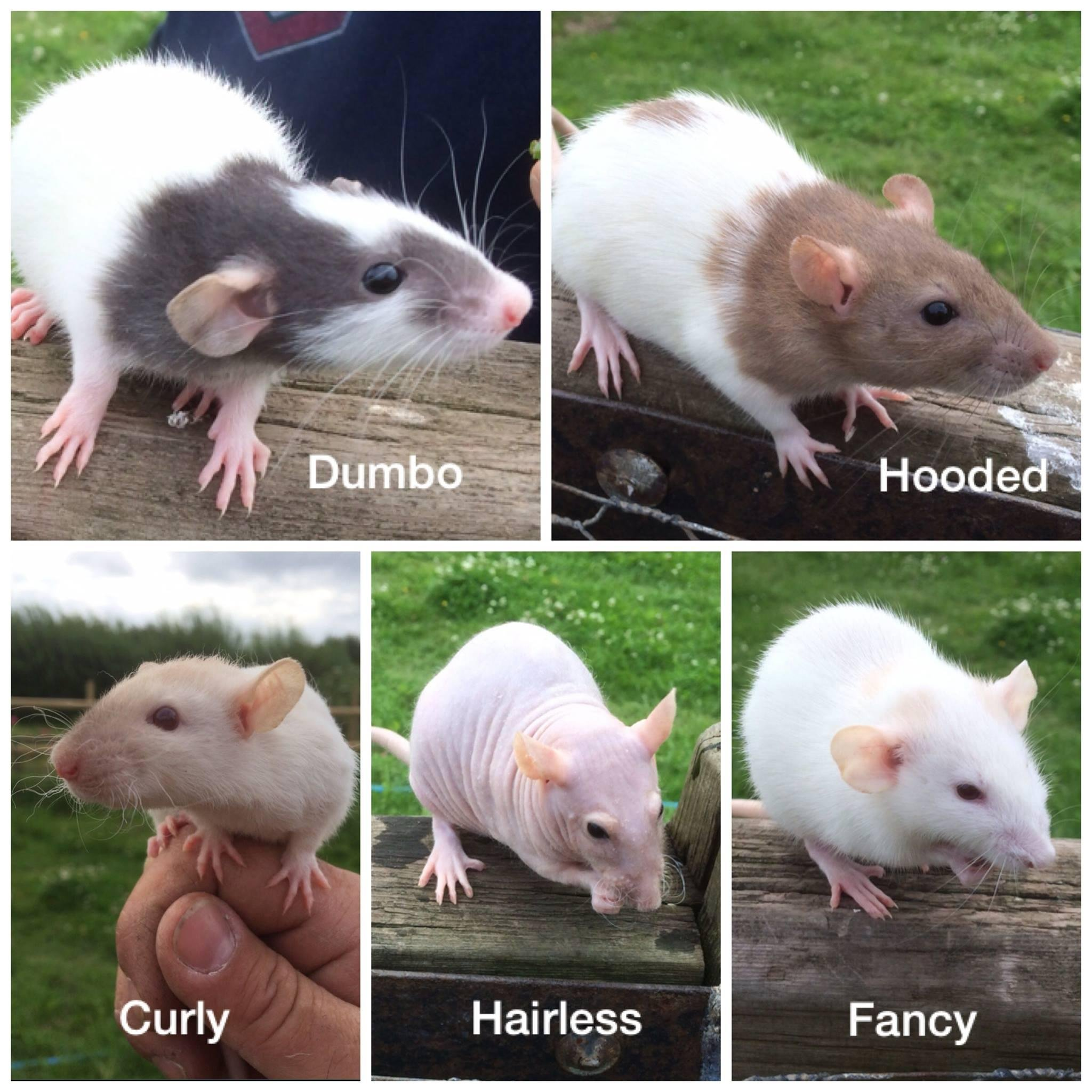 Fancy rats as pets - photo#5