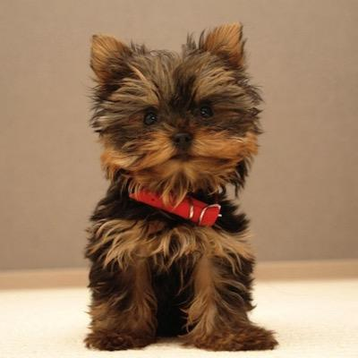Cutest Yorkies At Cutestyorkies Twitter
