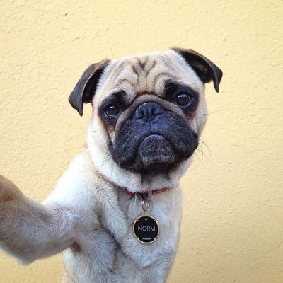 Popular Pugs (@PopularPugs) Twitter profile photo