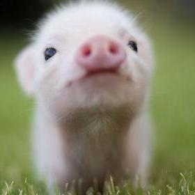 cute pigs cats dogs aww pig baby animals cutest puppies piggy animal super cuteness ever too piglets puppy fuzzy