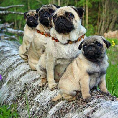 Emergency Pugs