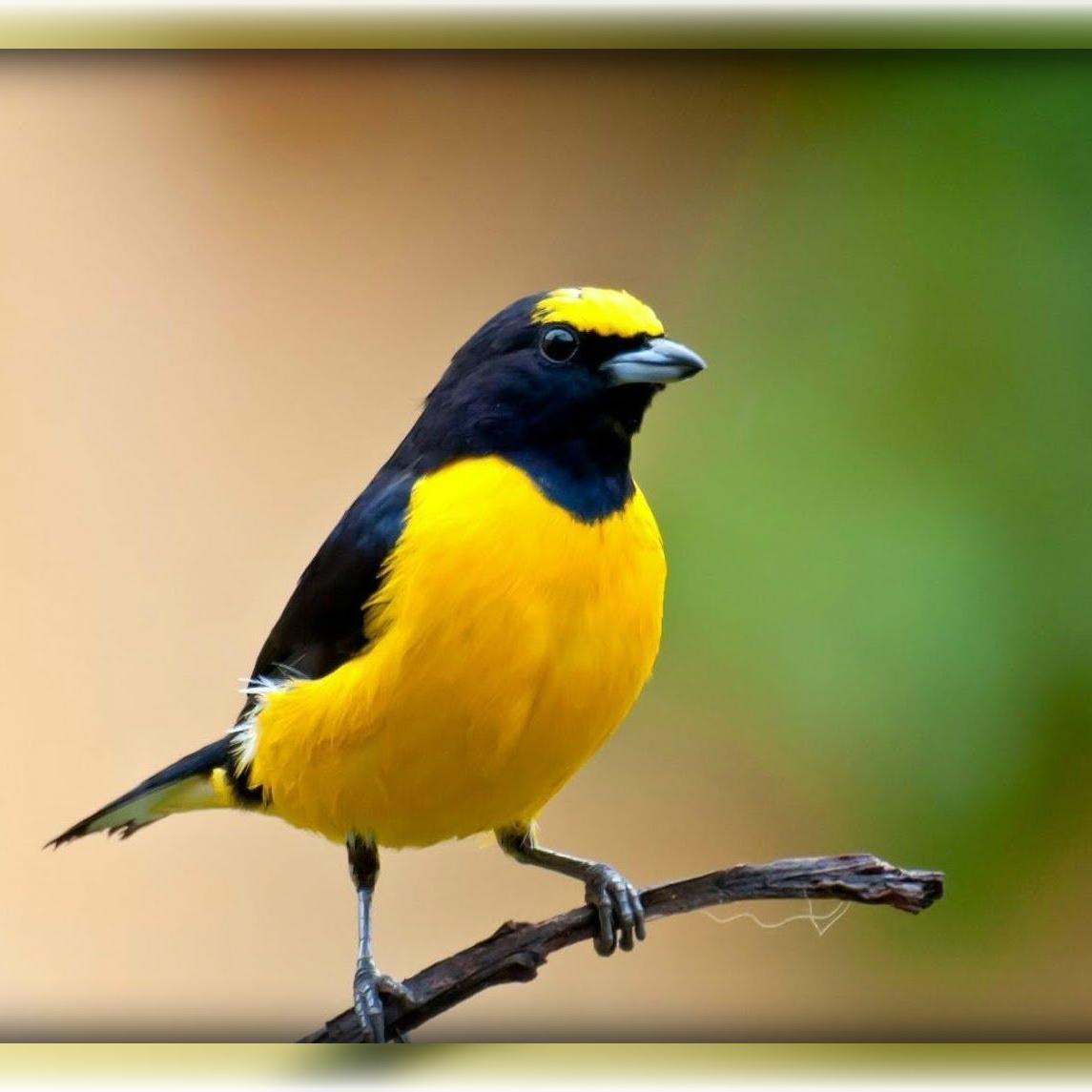Kicau Burung On Twitter Saya Menambahkan Video Ke Daftar Putar Youtube Http T Co 5s7ssaqola Murai Batu Medan Vs Murai Batu Lampung Ekor Panjang