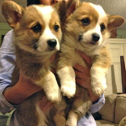 TheCutestCorgis