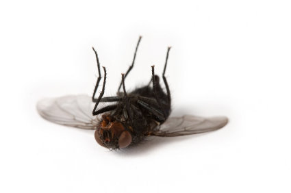 Image result for dead fly