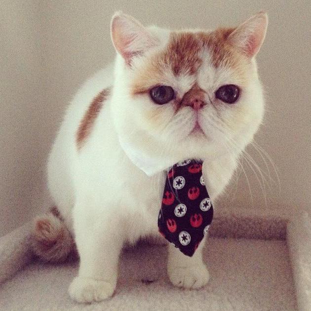 munchkin kittens for sale ma