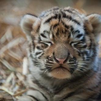 Cute Tiger Babies Cutebabytigers Twitter