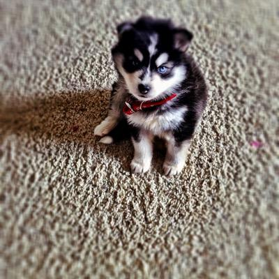 Coco The Mini Husky Theminihusky Twitter