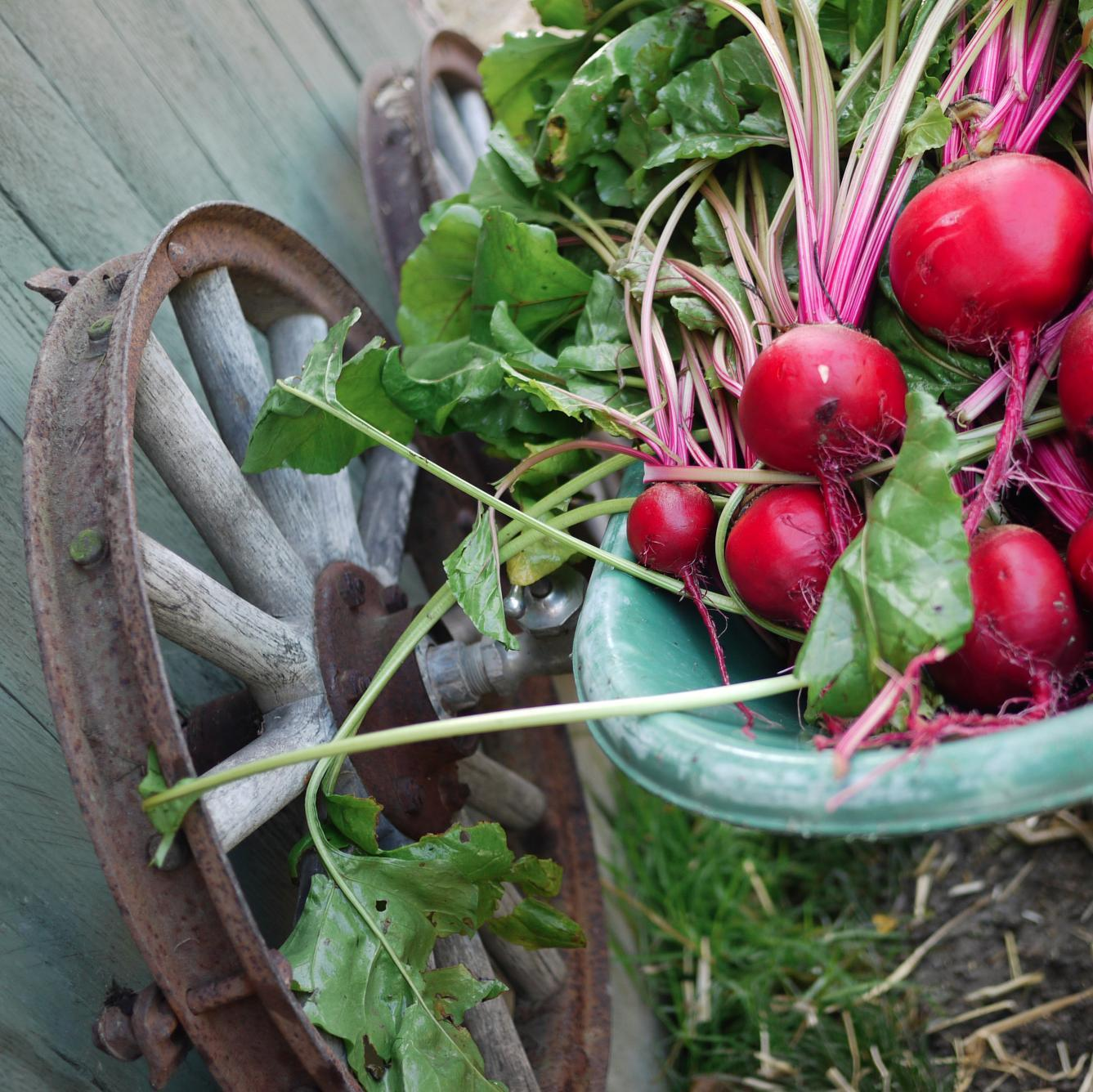 how to grow beets from bulb