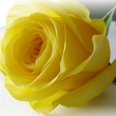 اجمل وردة صفراء في العالم لم يسبق له مثيل الصور Tier3 Xyz