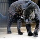 black jaguar (@01Saulgalindo) Twitter
