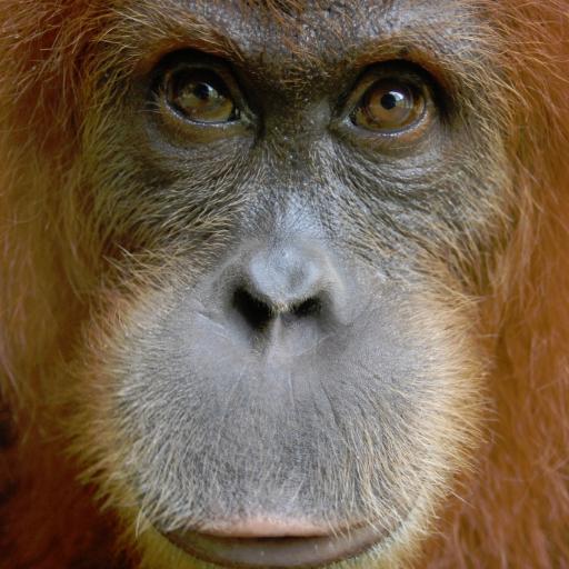 @OrangutansSOS