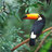 Toco toucan normal