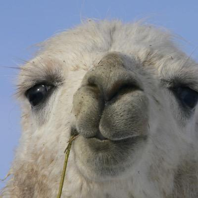 Whos Your Llama On Twitter Dan And Phils Inner Llamas