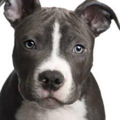 pitbull dog guide pitbulldogguide twitter