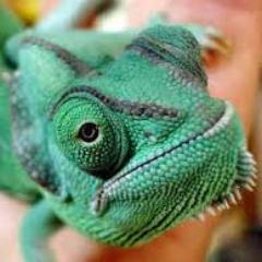 Pet Chameleons