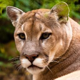 milwaukee cougars
