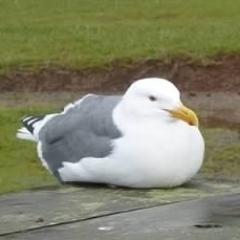 Hungryseagull