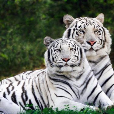 二匹目のトラ