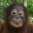Krista Orangutan