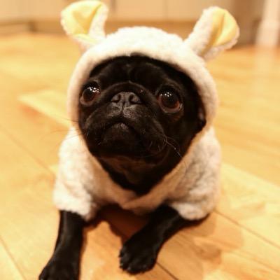 Nala The Pug♡ (@NalaBearPug) | Twitter