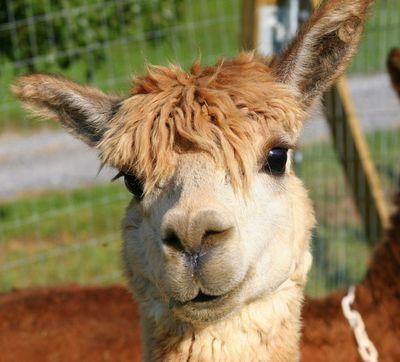 tommy alpaca (@alpacafaqs)   Twitter