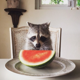 Pumpkin The Raccoon ThisIsPumpkin Twitter - Pumpkin rescued raccoon