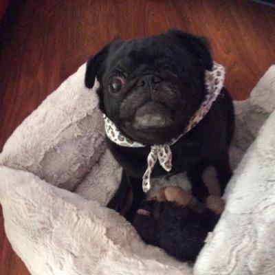 Mollie the Pug