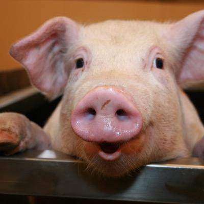 Cameron's Pig (@CameronPig) | Twitter