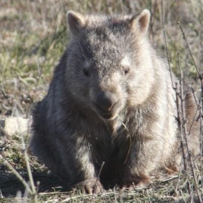 Lost Wombats