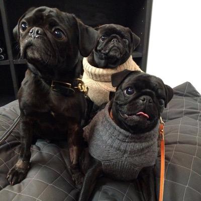 The lucky pugs