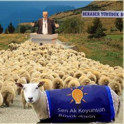 ak koyunlar ile ilgili görsel sonucu