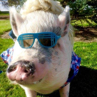 ziggy the piggy americaspig twitter