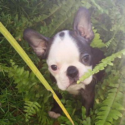 Theo Boston Terrier