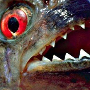 Piranha_Teeth