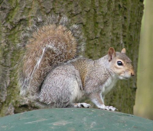 699px-Eastern_Gray_Squirrel_800.jpg