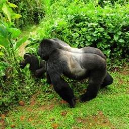GorillaTrekkingInfo