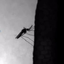 Mosquito Diaries