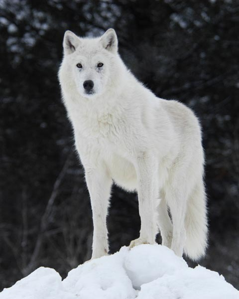 White Wolf Social Profile